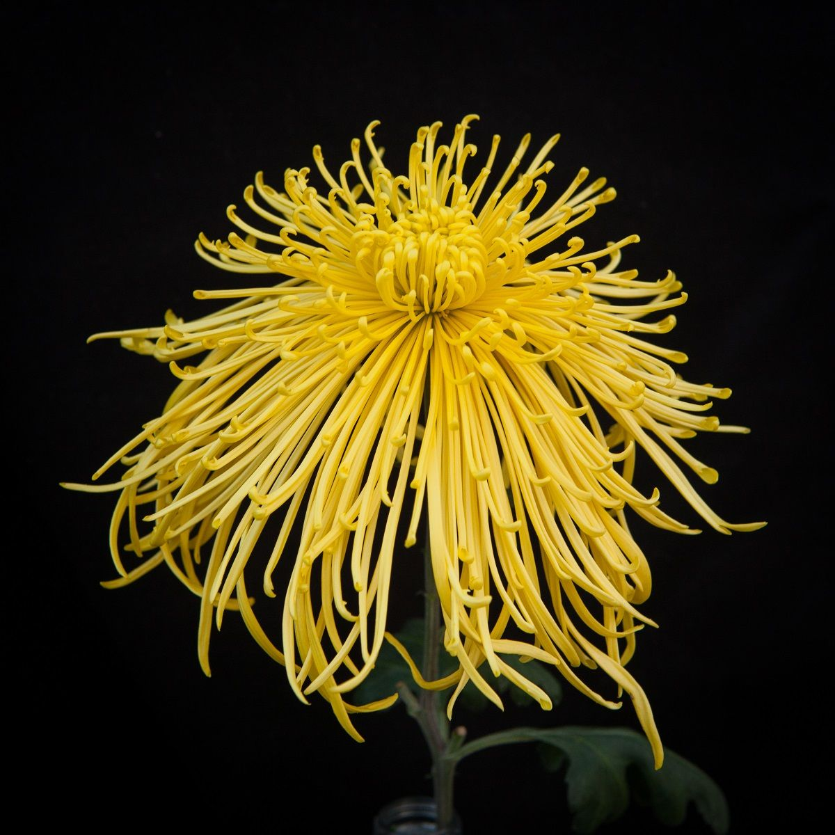 Spiders Mums The Most Exotic Of The Chrysanthemum Family They Are