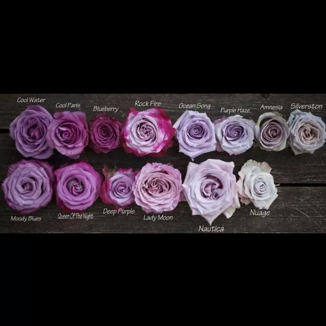 Purple Lavender Roses Colour Name Guide Knowyourflowers
