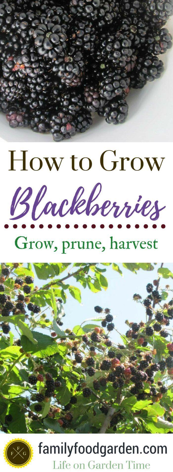 When to prune blueberries  Growing Blackberries Planting  Pruning Blackberries  Blackberry