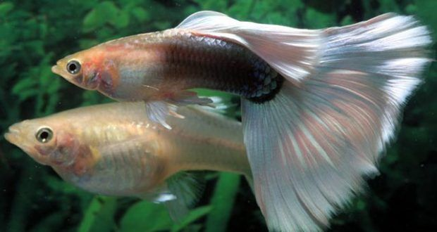 تزاوج الاسماك كيف 24 Guppy Fish Guppy Community Fish Tank