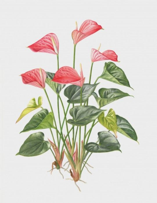 Anthurium 2013 Botanical Painting Botanical Drawings Flower Drawing