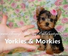 Teacup Yorkshire Terrier Morkie For Sale In Dallas Arkansas Best Toy Puppies For Sale Teacup Yorkie For Sale Yorkie Puppy For Sale