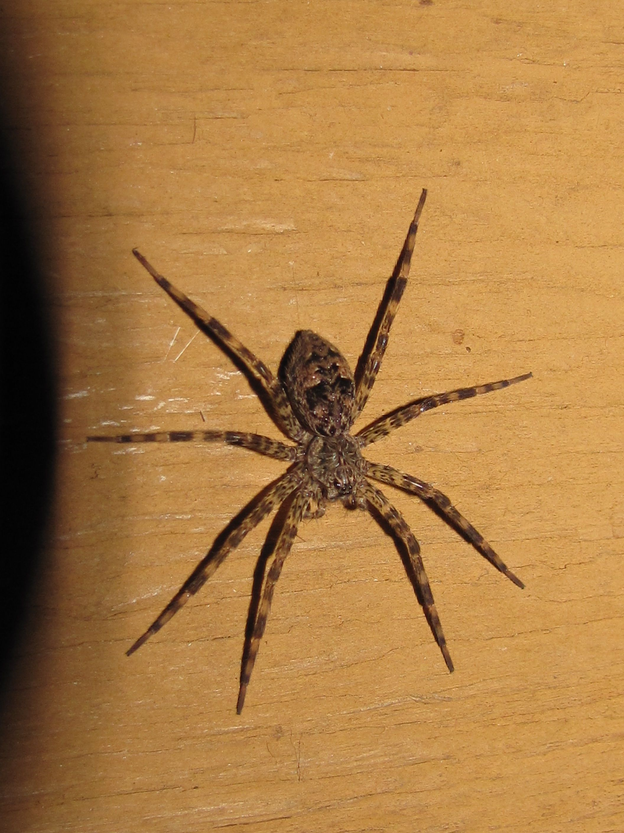 Wolf spiders are venomous, but they are not poisonous. | spider ...