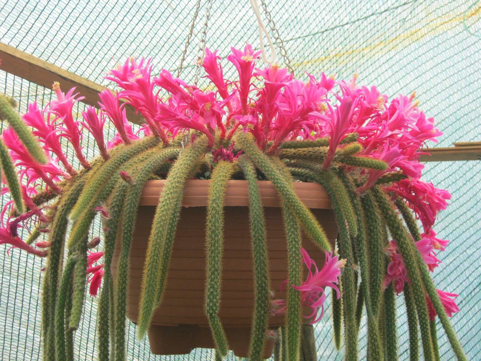 Aporocactus Flageliformis.