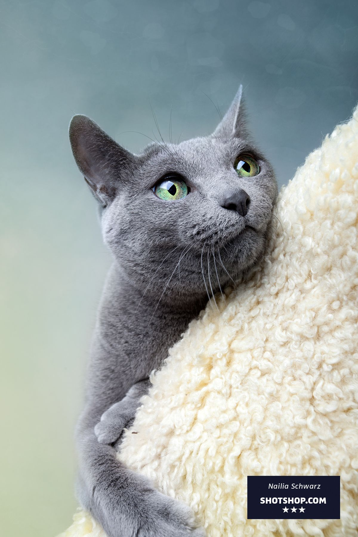 Perplexed Blue Russian cat on cat tree by Nailia Schwarz