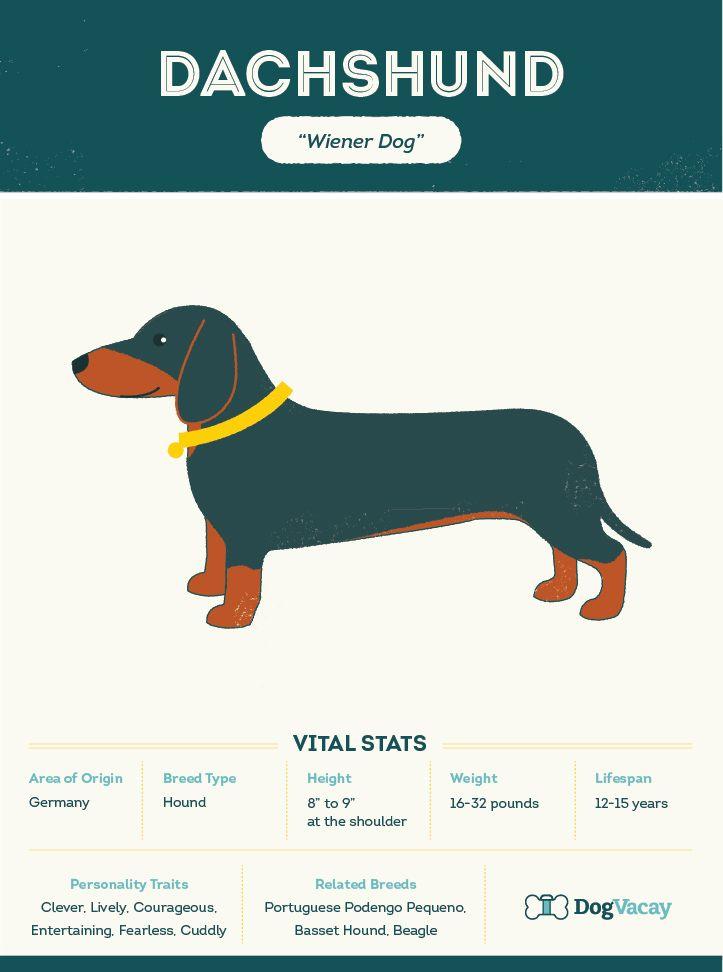 Breed Highlight Dachshund Lap Dogs Dachshund Best Dog Breeds