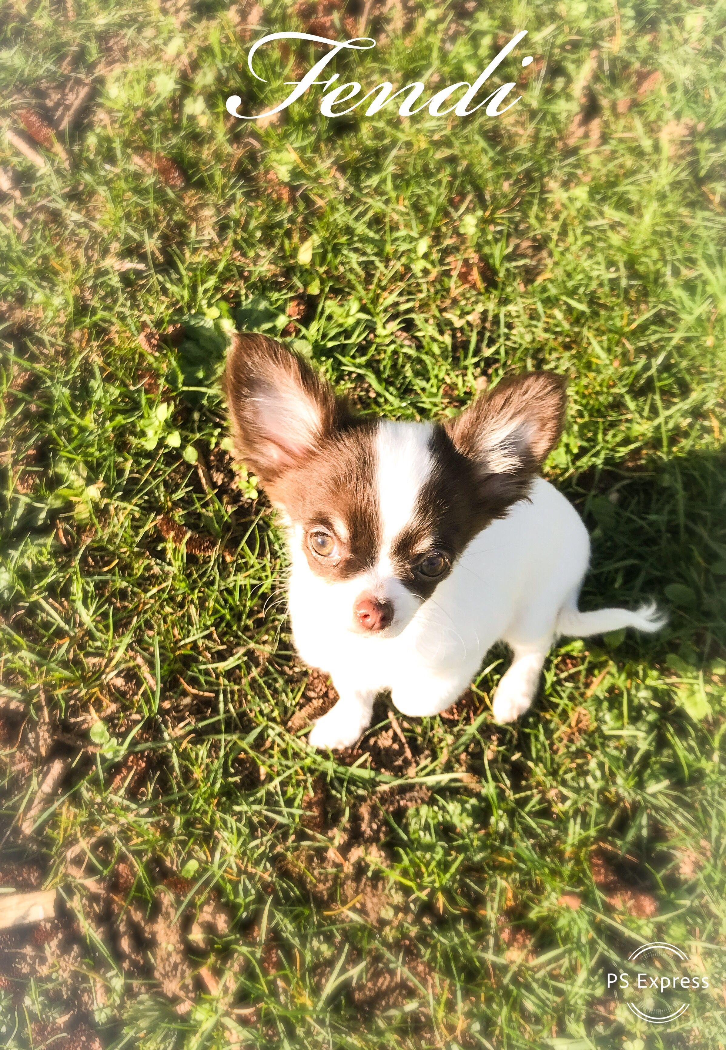 Pin By Lisa Randall On Babies Chihuahua Fendi Cute