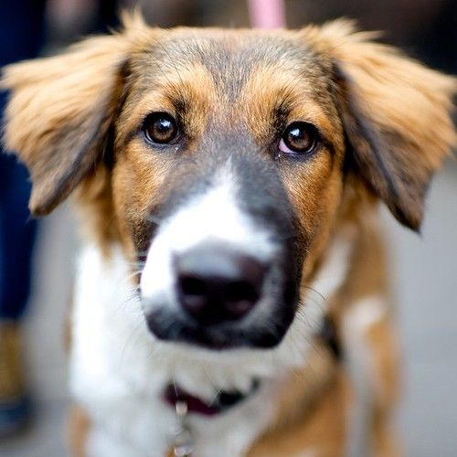 Rosie St Bernard Collie Mix 6 M O 22nd 10th Ave The Dogist Hybrid Dogs Unique Dog Breeds Rare Dog Breeds