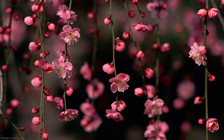 250 Ide Flower Wallpaper   Bunga-bunga Indah, Wallpaper Bunga Indah,  Wallpaper Mawar