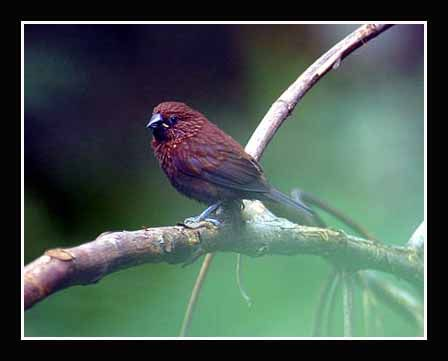 Streak Headed Munia Lonchura Tristissima World Birds Pet Birds Beautiful Birds