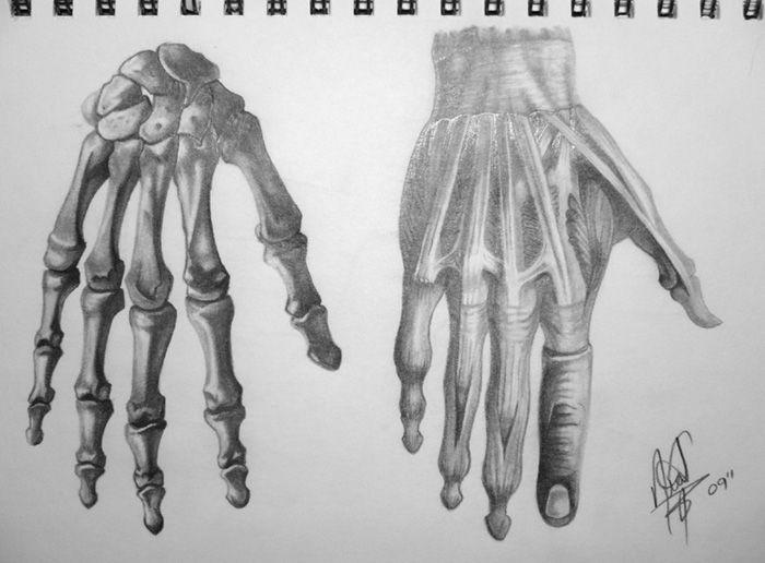 Human Anatomy - Hand by HaloGoddess1.deviantart.com
