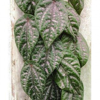 Celebes Pepper (Piper ornatum)