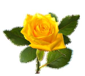 Rose Png Hd Transparent Images Free Download In 2021 Rose Flower Png Yellow Rose Flower Yellow Roses