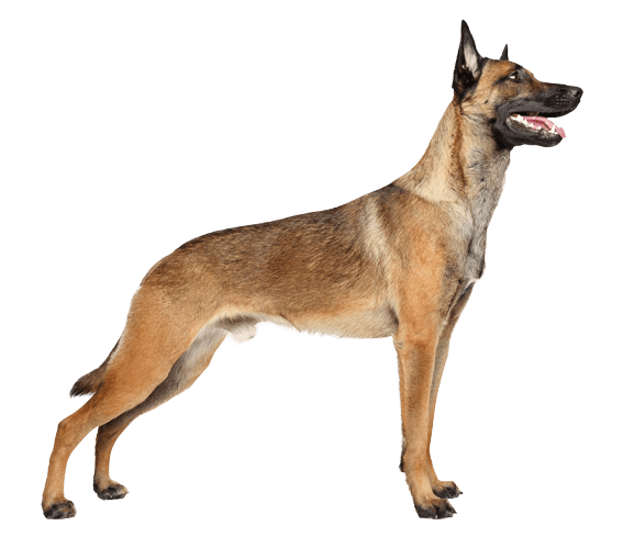 Belgian Malinois Dog Breed Facts And Information Wag Dog Walking Belgian Malinois Belgian Malinois Dog Malinois Dog
