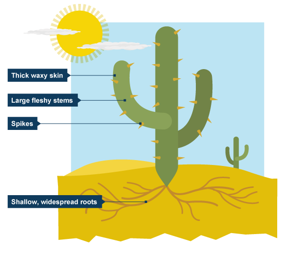 Diagram showing key parts of a cactus desert for kiddos bbc bitesize ks3 geography desert biomes revision 2 ccuart Gallery