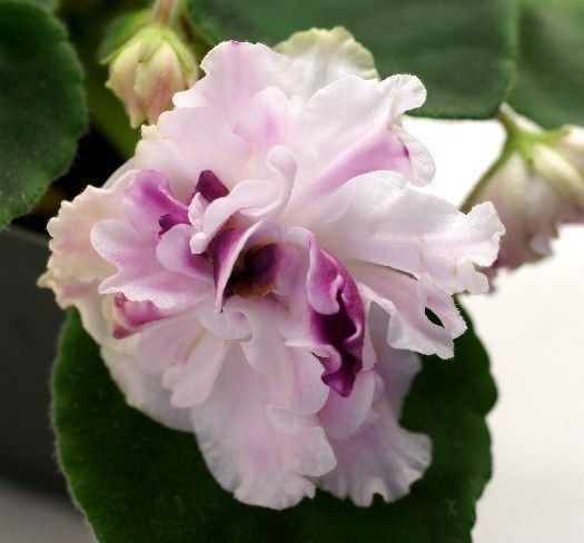 African Violet PLANT Touch Me Not / Nedotroga