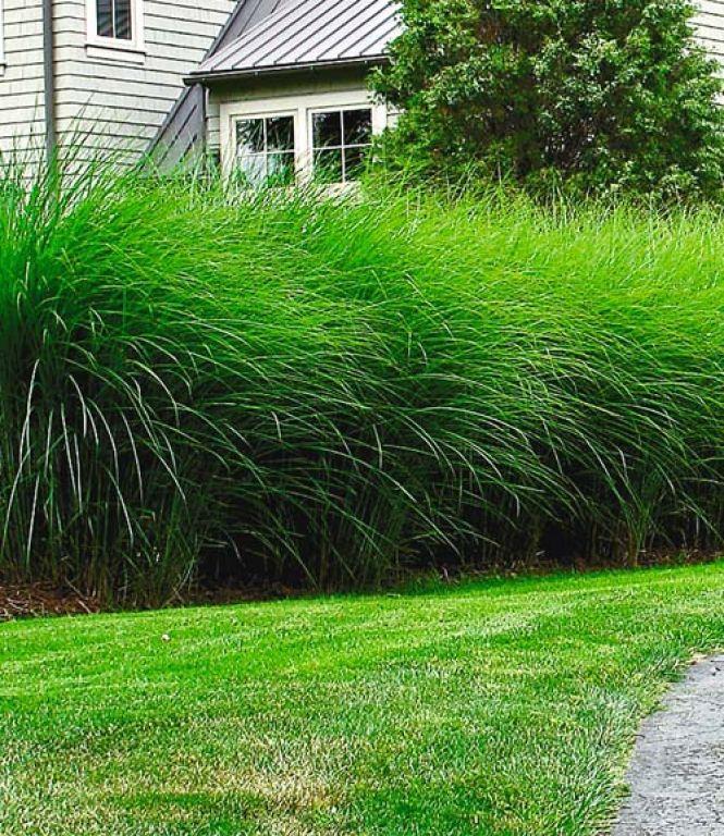 25+ best ideas about sichtschutz pflanzen schnellwachsend on, Garten und erstellen