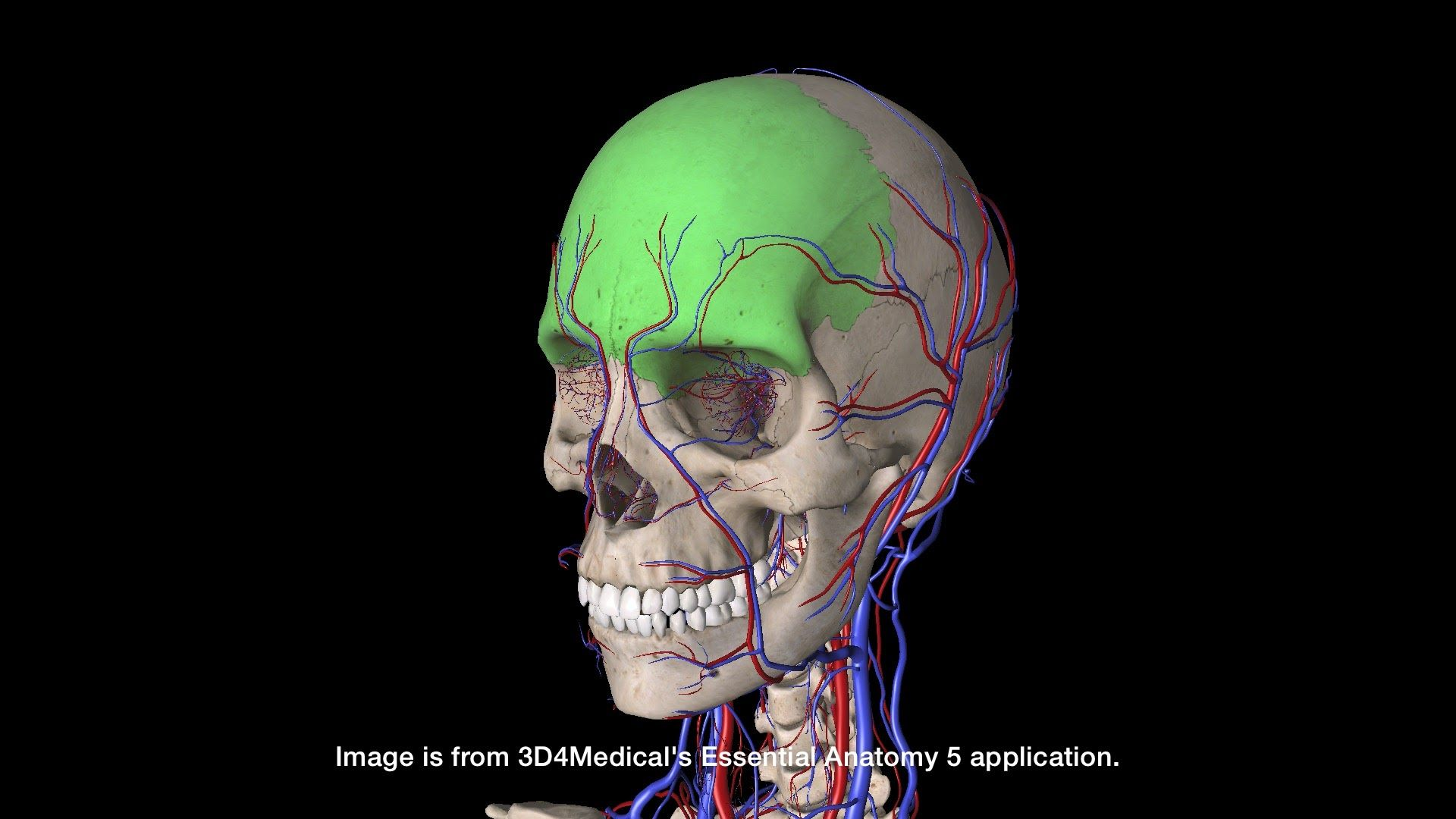 Frontal Bone Places To Visit Pinterest