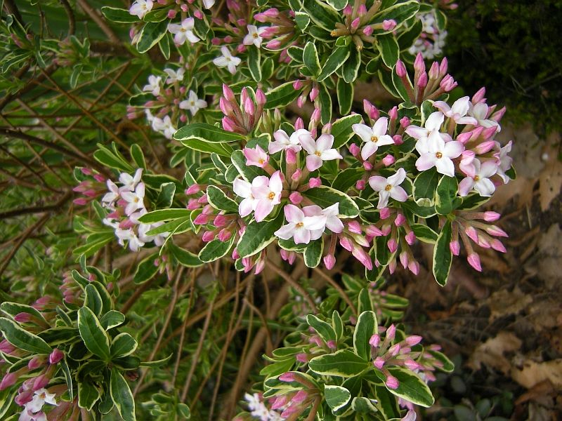 Compact shrubs for easy gardens gardening with for Arbustos ornamentales perennes