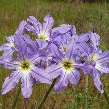 Huille Leucocoryne coquimbensis