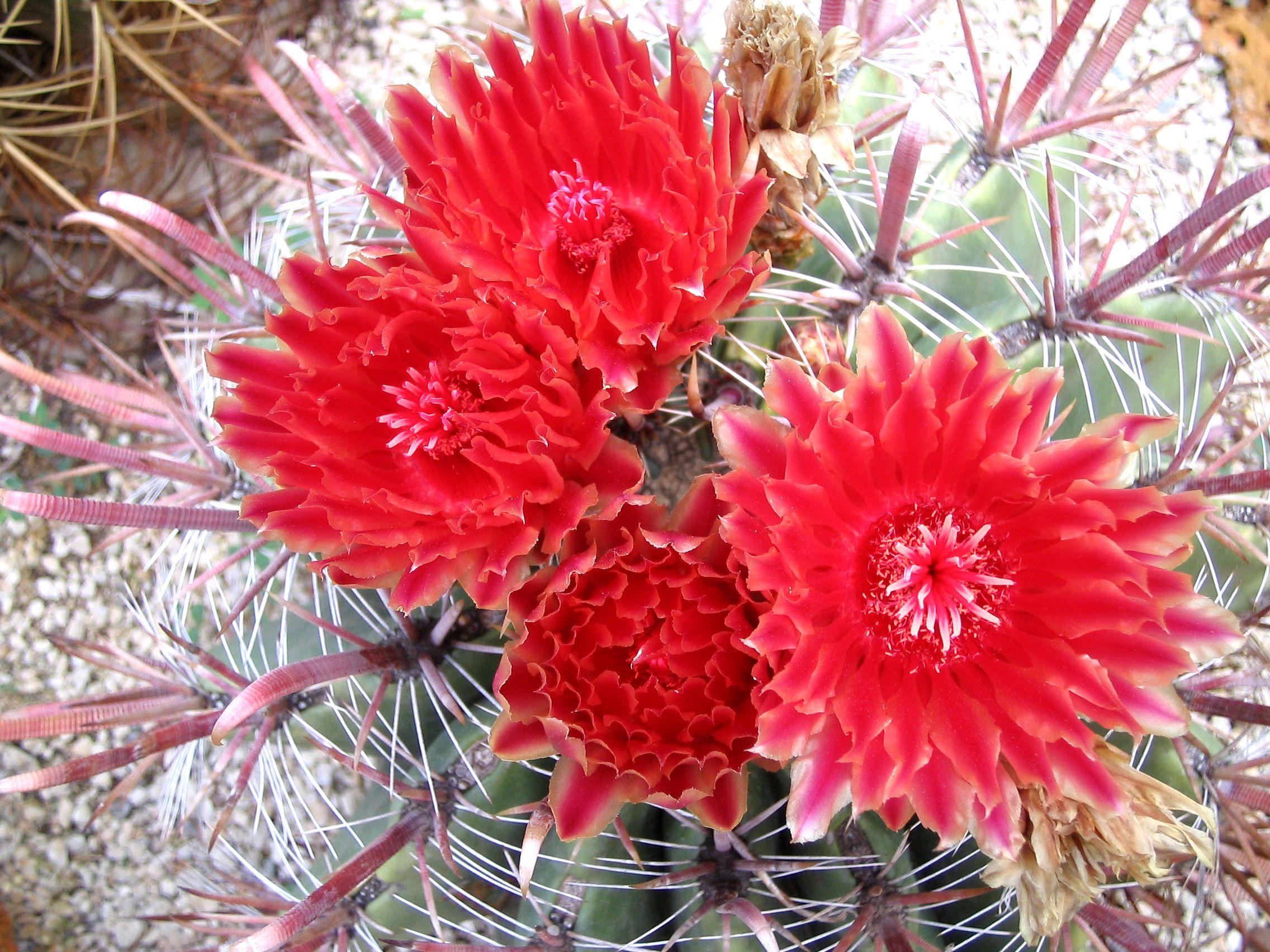 Ferocactus Stainesii Piante Piante Grasse