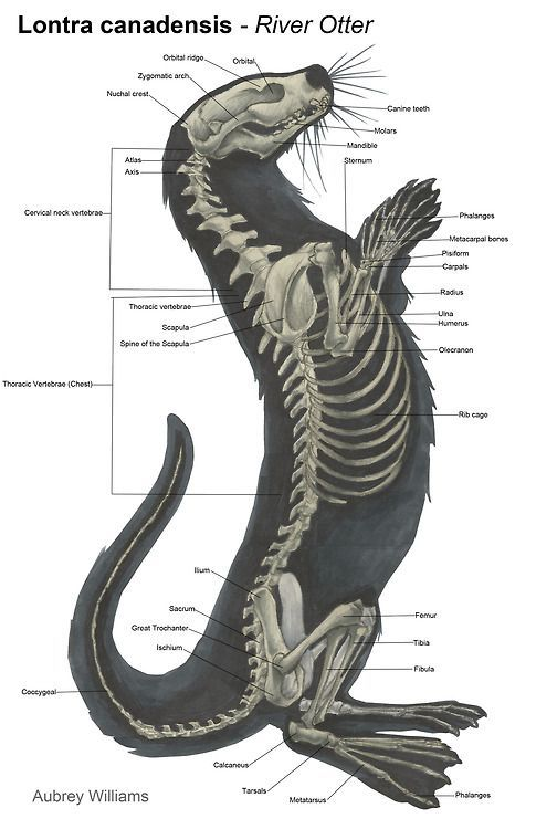 Otter Anatomy Otters Pinterest Anatomy Animals And Otters