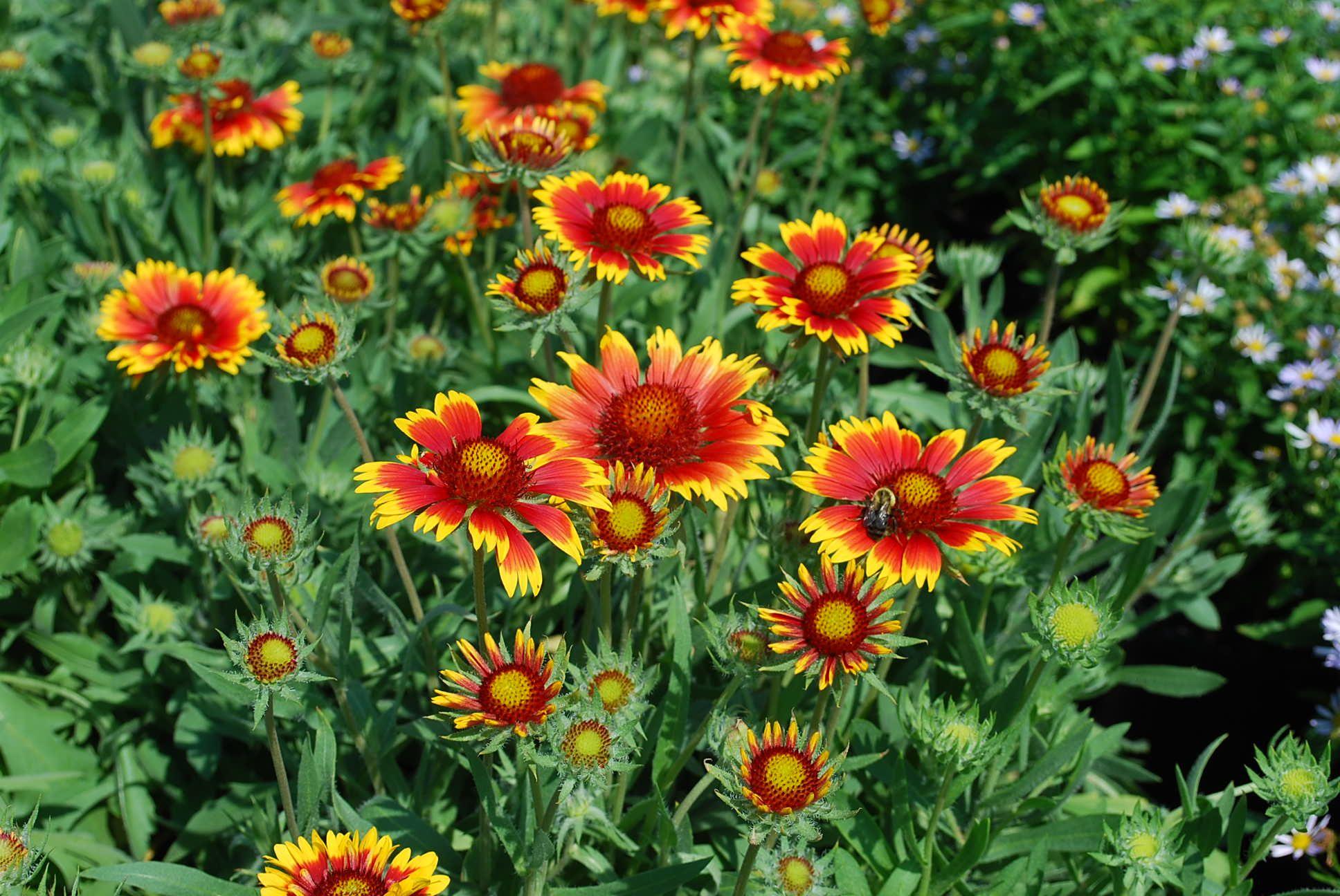 Gaillardia X Grandiflora Goblin Blanket Flower Garden Plants