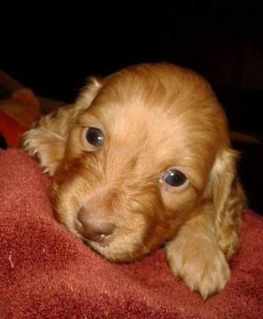 Litter Of 8 Dachshund Puppies For Sale In Denver Co Adn 26933 On