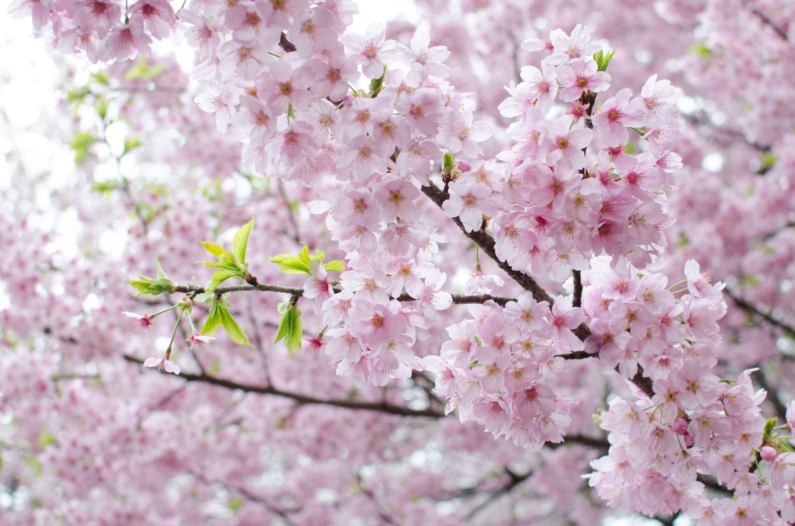 Cherry Blossom Tree Facts That You Definitely Never Knew Before Cherry Blossom Flowers Japanese Cherry Blossom Cherry Blossom Tree