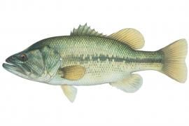 Largemouth Bass: Found in lowland lakes, artificial impoundments of all sizes, permanent pools of streams, and quiet backwaters of large rivers. Thrives in warm, moderately clear waters with little or no current. | Missouri Department of Conservation