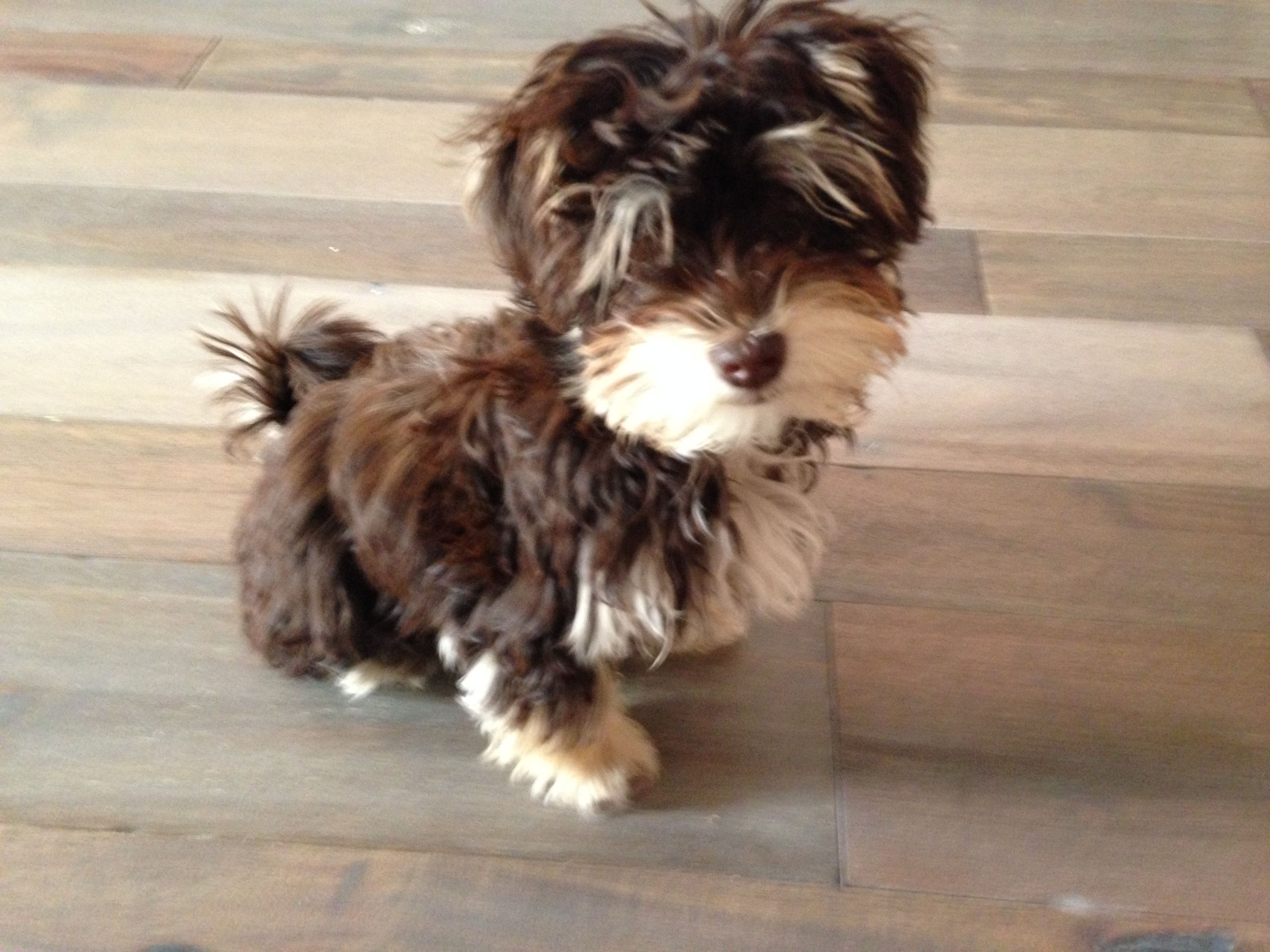 My Little Girl Ivy Is 4 Months Today She Is A Chocolate Havanese