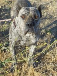 LANI is an adoptable Presa Canario Dog in New Orleans, LA. Leilani or Lani as we call her is just as gorgeous in person as she is in these photos. She is approx. 3 years old and an ABSOLUTE lady. She ...