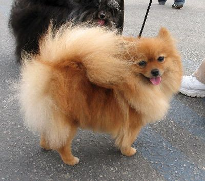 Pomeranian Dog Breeds Pomeranian Dog Toy Dog Breeds