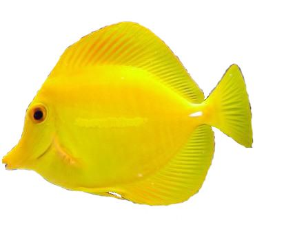 Yellow tang we saw a lot of these in hawaii mellow for Yellow tang fish