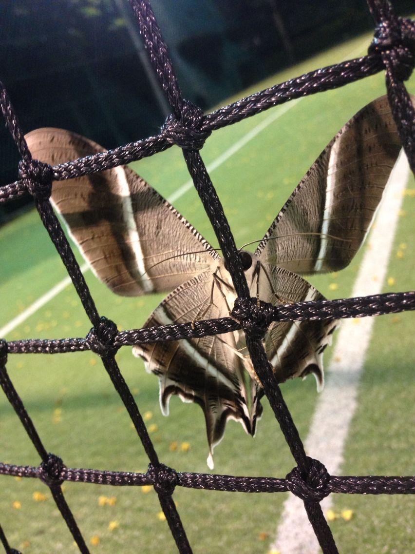 Lyssa Zampa moth