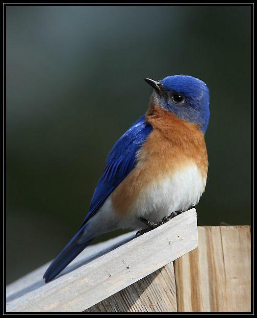 Eastern Bluebird Blue Bird Beautiful Birds Eastern Bluebird
