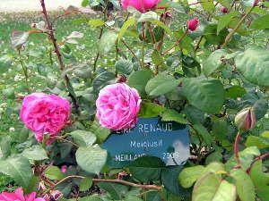 39 line renaud 39 jardin pinterest rosier malade et renaud. Black Bedroom Furniture Sets. Home Design Ideas