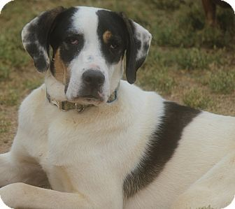 Greenville Sc Treeing Walker Coonhound Great Dane Mix Meet