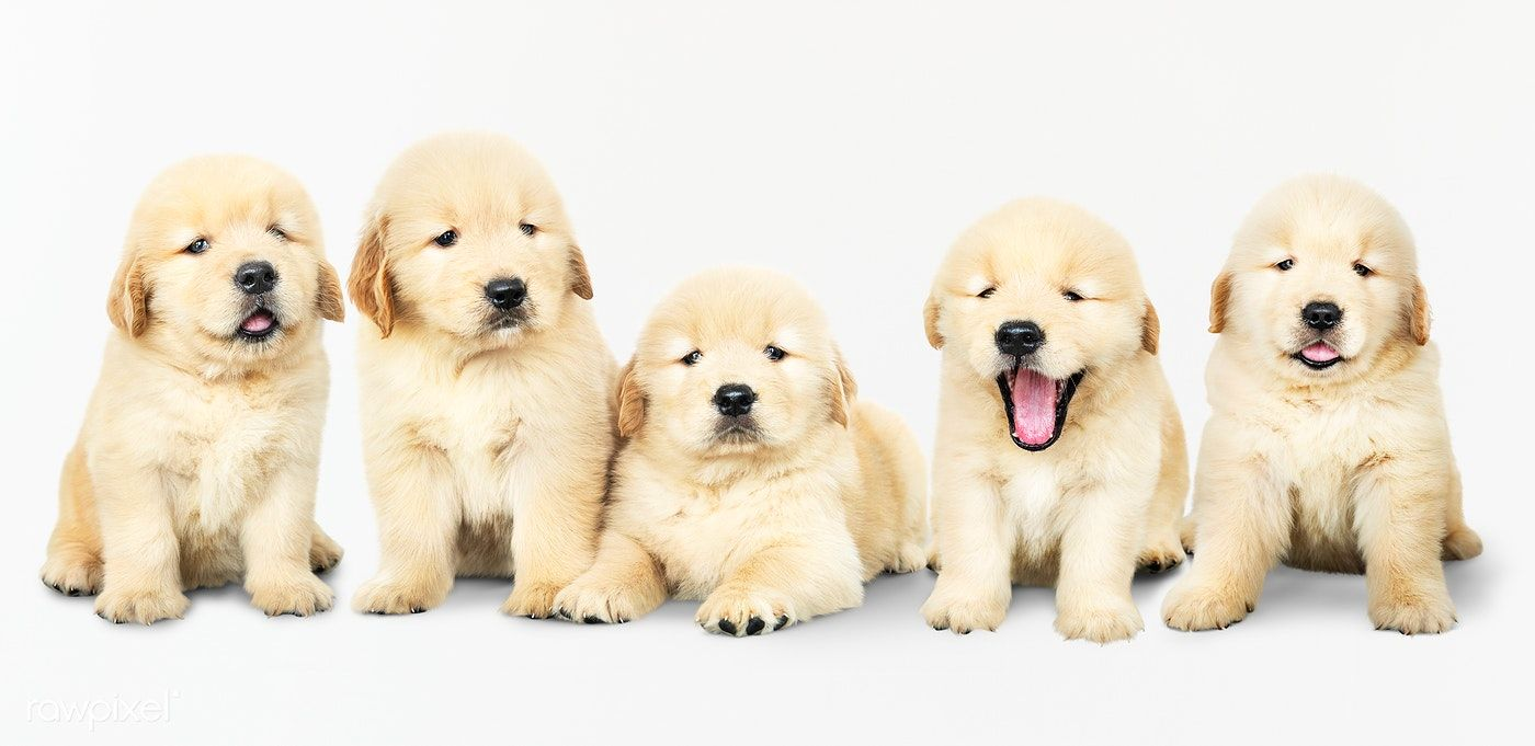 Download Premium Psd Of Portrait Of Five Adorable Golden Retriever Puppies In 2020 Retriever Puppy Golden Retriever Puppy Portraits