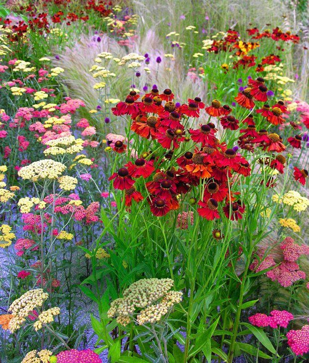 Dzielzan Ogrodowy Helenium Hybridum Plants Love Flowers Garden Design