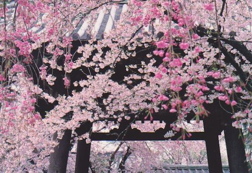 Cherry Blossom Dates In Japan The Japanese Have A Beautiful Way Of Showing Off Their Cherry Trees Japanese Painting I Believe In Pink Postcrossing