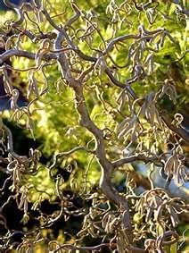 Pin By Janet Neely On In The Garden Corkscrew Hazel Trees To Plant Hazelnut Tree