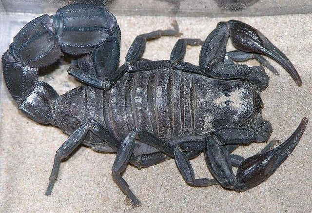 Black Fat Tailed Scorpion