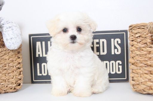 Maltipoo Puppy For Sale In Naples Fl Adn 40670 On Puppyfinder