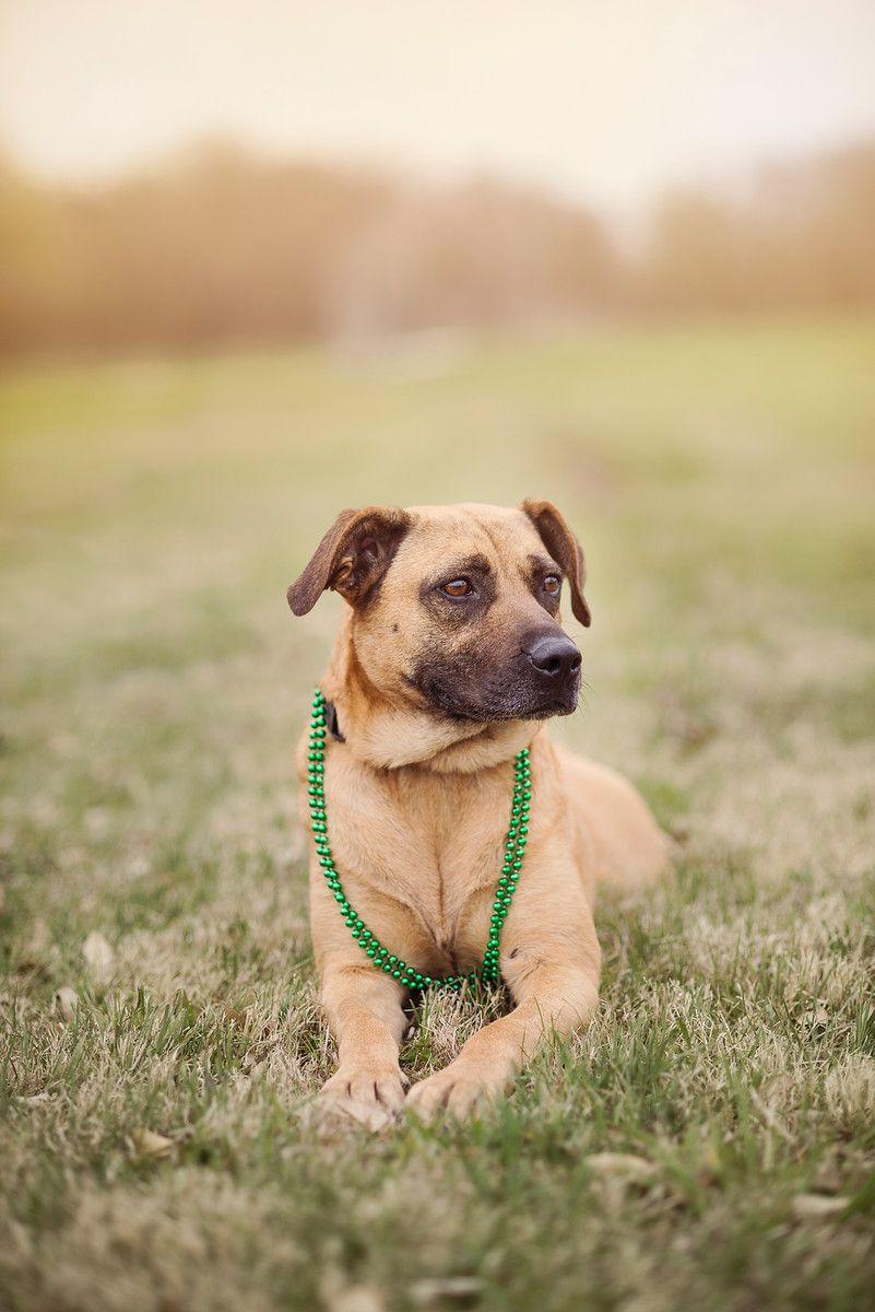 Black Mouth Cur dog for Adoption in Dallas, TX. ADN543417