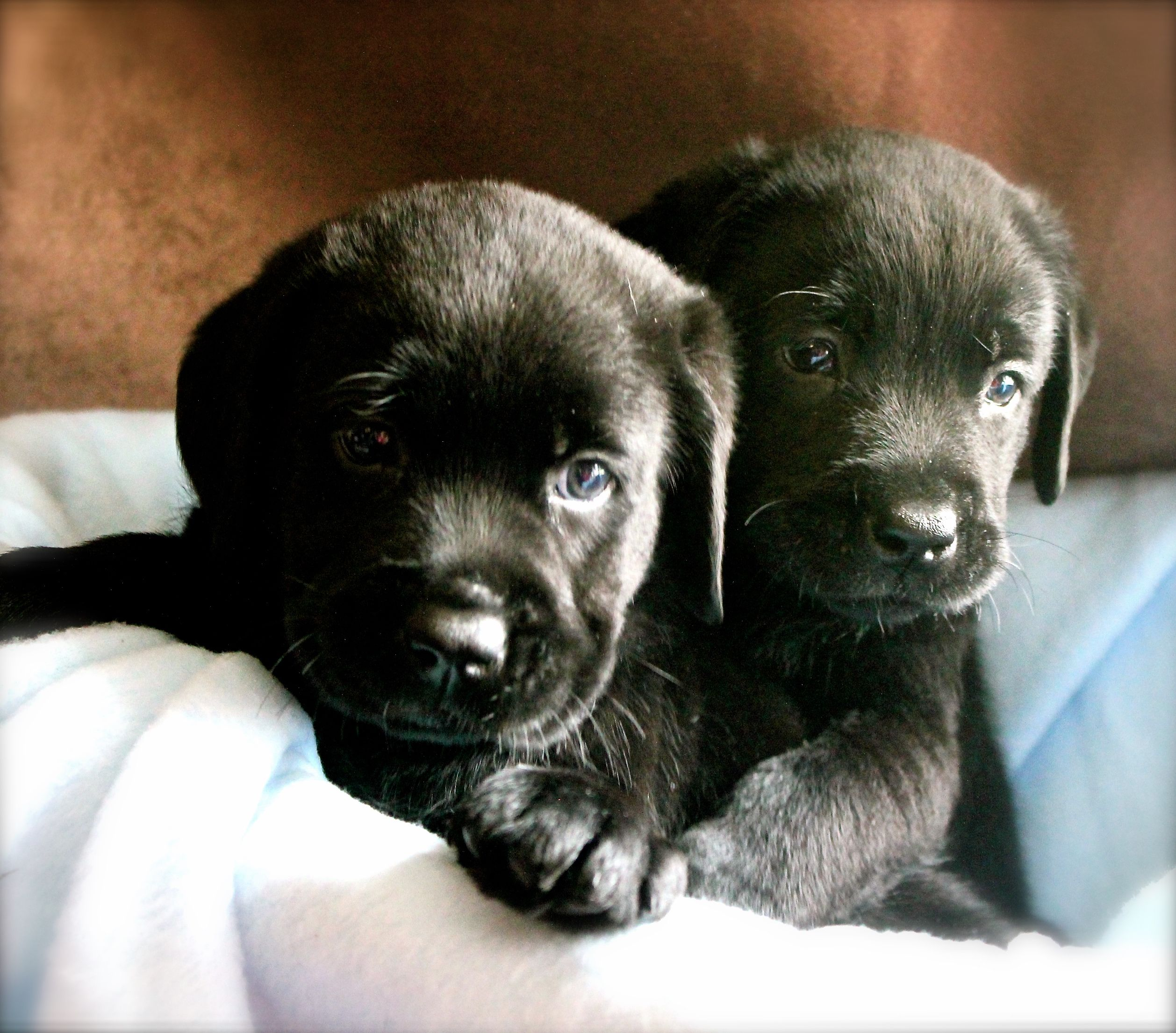 6 week old black lab puppies Puppies Pinterest