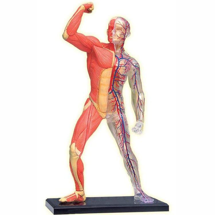 인체 골격 및 근육 4D 해부학 모델 |  해부학 모델, 인간의 귀 해부학, 골격근