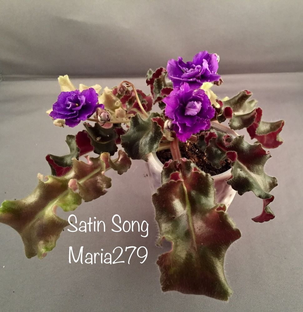African violet Apache Sunburst live plant in pot