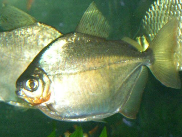 How To Care For Silver Dollar Fish Fish Freshwater Aquarium Fish Tropical Fish Aquarium