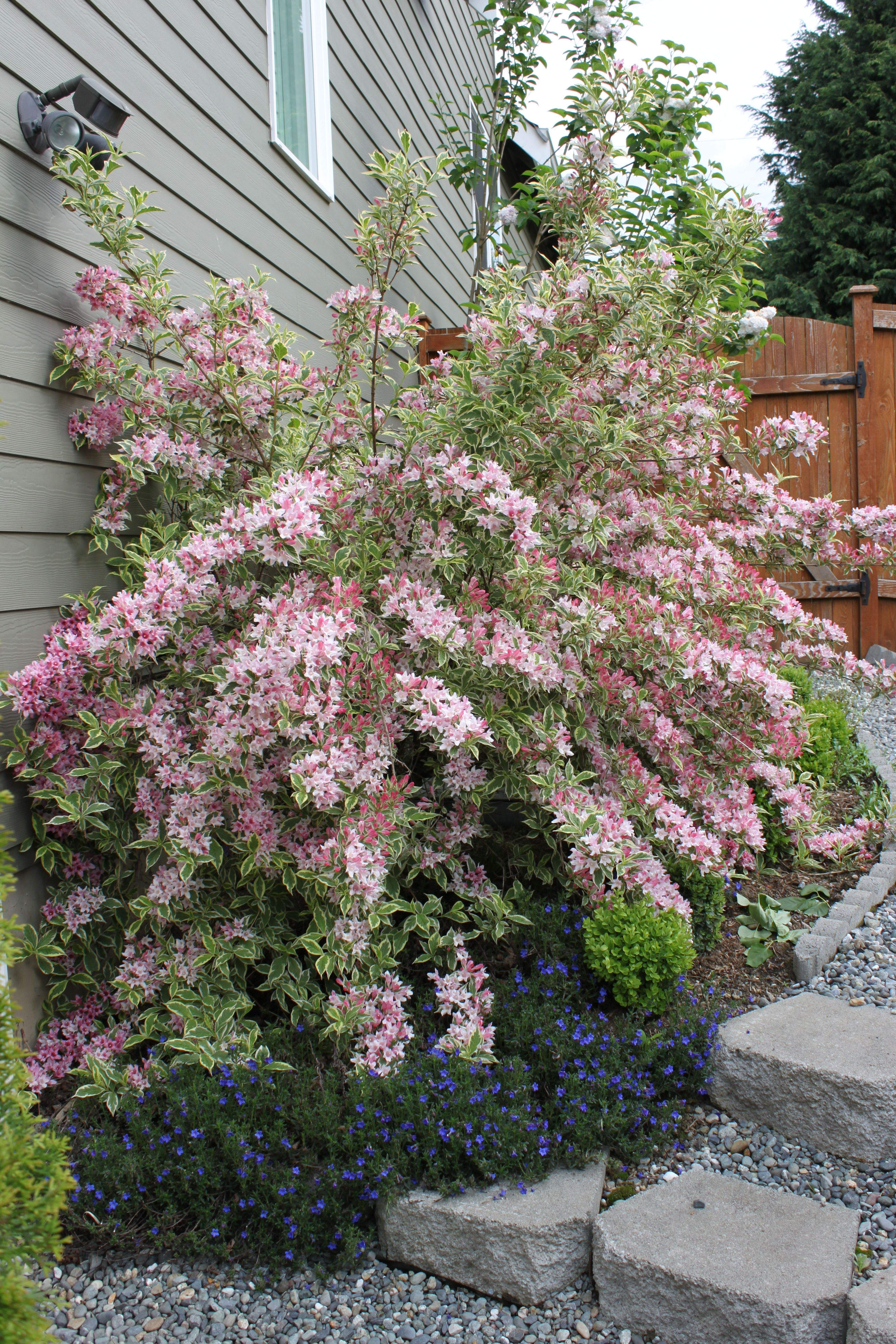 variegated weigela lawn garden